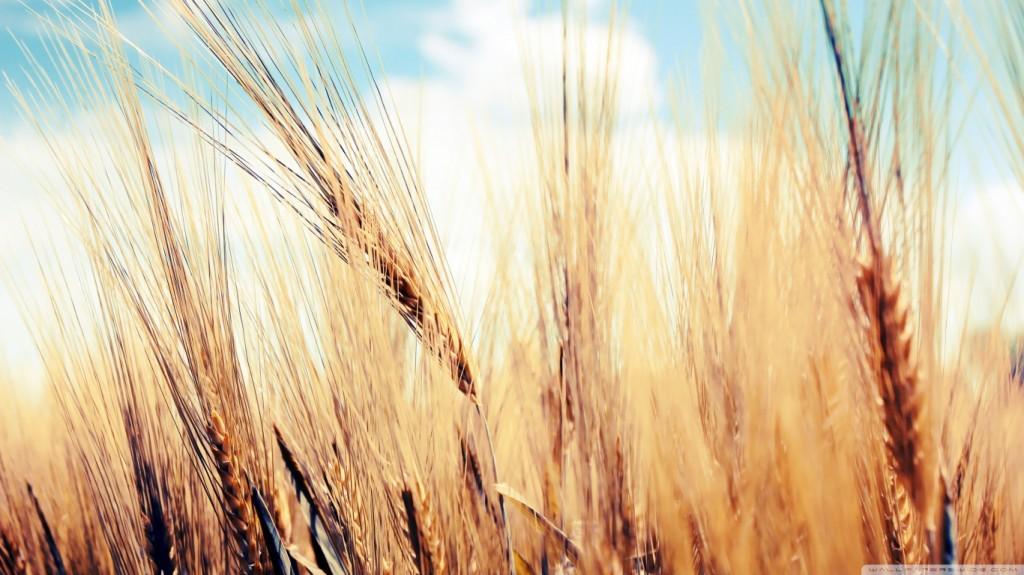 wheat-1024x575