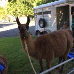 Visiting llama